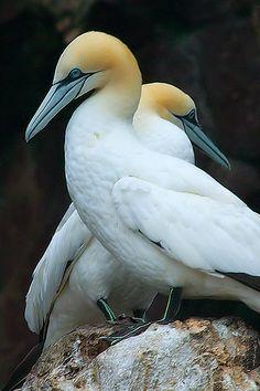 Gannet Pair on rocks Sea Birds, Wild Birds, Pretty Birds, Beautiful Birds, Wildlife Photography, Animal Photography, Rare Birds, Shorebirds, Galapagos Islands