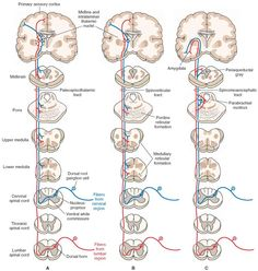 Indirect spinothalamic pathways. These pathways mediate the affective and arousal components of pain, temperature, and simple tactile sensations. (A) The ascending axons in the paleothalamic tract synapse in the brainstem reticular formation and neurons in midline and intralaminar thalamic nuclei, which then project diffusely to the cerebral cortex including the cingulate gyrus. (B) In the spinoreticular tract, one group of ascending axons projects to the medullary reticular formation, and…