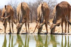 Herd of Kudu drinking from waterhole Poster Adventure Tours, Camel, Safari, Drinking, Tourism, National Parks, Horses, Poster, Animals