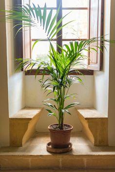 Les palmiers: plante dépolluante