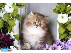 Teacup Persian Kittens Available!  www.dollfacepersiankittens.com