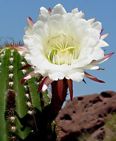 Night blooming cactus at Desert Botanical Garden, Phoenix, Arizona.