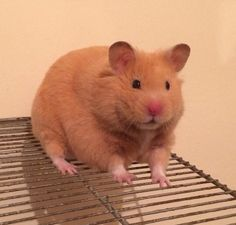 Syrian and overall BIS hamster. Sh red eyed cream. Tristar King Kamehameha