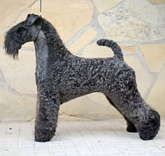 Such Good Dogs: Breed of the Month--Kerry Blue Terrier Dog Grooming Styles, Poodle Grooming, Pet Grooming, Terriers, Terrier Breeds, Dog Breeds, Black Russian Terrier, Purebred Dogs, Fauna