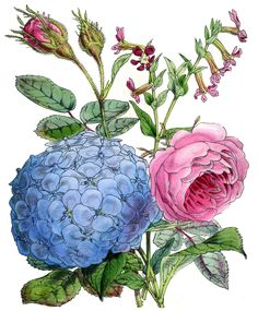 *The Graphics Fairy LLC*: Instant Art Printable - Hydrangea & Rose Rose Images, Flower Images, Flower Art, Flower Logo, Art Flowers, Graphics Fairy, Botanical Flowers, Botanical Art, Art Floral
