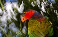 Black-capped Lory in Papua. Indonesia's forest life is at risk from relentless deforestation
