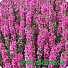 Buy Lythrum salicaria Robert (Loosestrife) online from Jacksons Nurseries Tom Stuart Smith, Purple Loosestrife, Gravel Garden, Herbaceous Perennials, Perfect Plants, Shrubs, Planting Flowers, Beautiful Flowers, Seeds