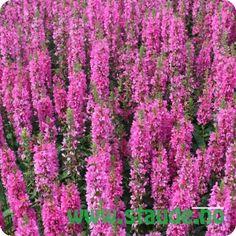 Buy Lythrum salicaria Robert (Loosestrife) online from Jacksons Nurseries Tom Stuart Smith, Purple Loosestrife, Gravel Garden, Herbaceous Perennials, Perfect Plants, Shrubs, Planting Flowers, Beautiful Flowers, Seeds