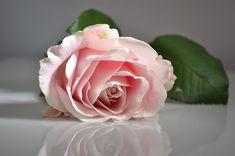 Rose, Pink, Flower, Pink Flower, Flowers, Pink Rose