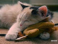 Toy as pillow - sleepy Cat