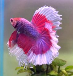 Beautiful Pink Betta Fish by Cass Cassie Pretty Fish, Beautiful Fish, Animals Beautiful, Colorful Fish, Tropical Fish, Poisson Combatant, Chien Golden Retriever, Siamese Fighting Fish, Water Animals