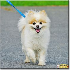 Read Teddy's story the Pomeranian from Rochester, Massachusetts and see his photos at Dog of the Day http://DogoftheDay.com/archive/2014/November/08.html .