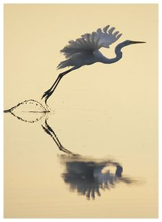 A great egret at dawn, Chincoteague National Wildlife Refuge, Virginia. Ian Plant on deiantART