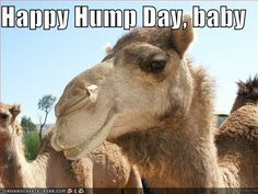 hump day captions   Happy Hump Day, baby - Cheezburger Hump Day Quotes Funny, Hump Day Meme, Funny Famous Quotes, Wednesday Hump Day, Happy Wednesday Quotes, Wednesday Humor, Funny Good Morning Quotes, Wednesday Greetings, Hug Quotes