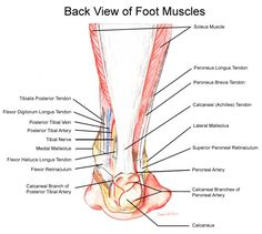 Myndaniðurstaða fyrir latin words for nerves in feet anatomy Ankle Anatomy, Foot Anatomy, Anatomy Organs, Anatomy And Physiology, Exercise Physiology, Human Anatomy, Acupuncture, Soleus Muscle, Sports Therapy