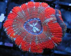 Acan Lord Red Widow http://FragJunky.com  http://Facebook.com/FragJunkyCorals
