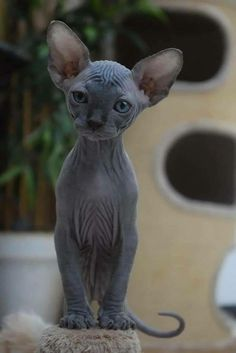 Sphynx cats Scamsters: Is Cheating Cat Lovers By Selling Them Shaved Kittens - Hairless Cat - Ideas of Hairless Cat - ViolettaOphelia The post Sphynx cats Scamsters: Is Cheating Cat Lovers By Selling Them Shaved Kittens appeared first on Cat Gig. Pretty Cats, Beautiful Cats, Animals Beautiful, Beautiful Images, Crazy Cats, I Love Cats, Cute Cats, Funny Cats, Animals And Pets