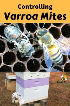 Finding the best varroa mite treatments for your beehives is an important task for every Varroa mites kill hives. Your colony doesnt have to be one of them. Drone Bee, Bee Hive Plans, Beekeeping For Beginners, Raising Bees, Bee Boxes, Backyard Beekeeping, Save The Bees, Bees Knees, Queen Bees