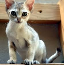 Singapura Kitten. One of the smallest breeds of cats. Birthday present anyone?
