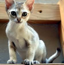 Singapura Kitten. One of the smallest breeds of cats. Birthday present anyone?