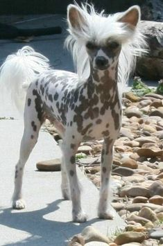 The chinese crested hairless dog