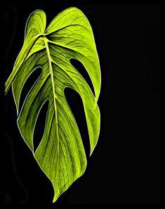 #monsera #peikonlehti #musta tausta #yksi lehti #vihreä lehti #green leaf #simplicity #yksinkertainen #digital art #drawing #piirrosmainen #photography #valokuvaus