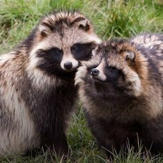 just found out tanukis aka raccoon dogs exist Wild Animals Pictures, Animal Pictures, Raccoon Drawing, Raccoon Tattoo, Raccoon Repellent, Japanese Raccoon Dog, Rocky Raccoon, Animals Beautiful, Cute Animals