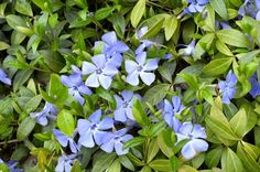 "Periwinkle is derived from the Latin word. Vinca plant is used in various synthetic medicines act as anti-cancer. Vinca words mean ""to overcome"". Periwinkle Plant, Growing Seeds, Growing Plants, Shade Garden, Garden Plants, Vinca Vine, Daffodil Bulbs, Ground Cover Plants, Perennials"