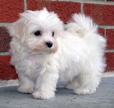 Maltese Puppy, oh my gosh, SO cute!!  I want it!!!!