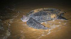 Tortuga Baula: se encuentra en serio peligro de extinción junto con la tortuga laúd. Aunque cada vez atraen más al turismo, la pesca accidental, contaminación de las aguas y la caza para conseguir su caparazón, carne o huevos.