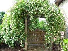 Cecil Bruner antique rose arch--garden entrance