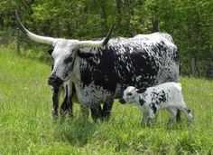 mom and baby cow!                                                                                                                                                                                 More