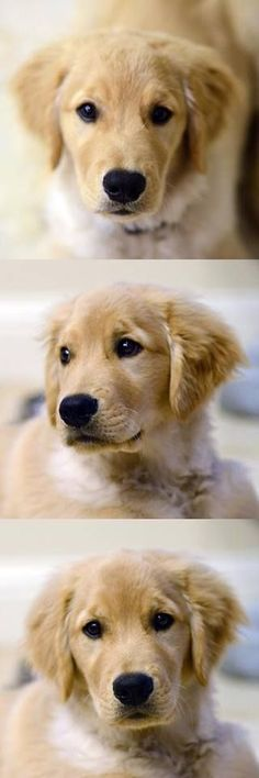 Golden Retriever Pup ~ Classic Looks Chien Golden Retriever, Golden Retrievers, Cute Puppies, Cute Dogs, Dogs And Puppies, Doggies, Animals And Pets, Baby Animals, Cute Animals