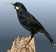 Karaka Tree Bird | Mounted female Huia taxidermy specimen illustrating its well-developed ...
