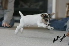 Jack russell in action