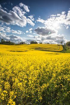 Rzepak - Field of yellow rapeseed Deka, Poland