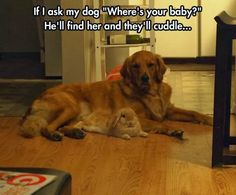 So DogGone Funny!: 16098 - Golden Retriever and rabbit are good friends.