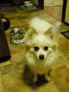Shelby is a very sweet 5 year old Pomeranian who is looking for a forever family.  She loves to have attention and sit in your lap.  She is doing good with her potty training and leash training.  Shelby will make a great companion.