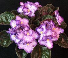 African Violet Flowers | Visit violetbarn.com