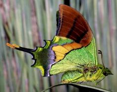 "I ❤ butterflies . . . The name ""kaiser-i-hind"" literally means ""Emperor of India"" and this butterfly that is native to India belongs to the swallowtail family. Teinopalpus imperialis is made unique by the wings' green iridescence."