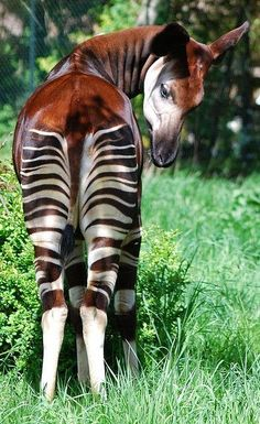 It looks like a zebra cross, but its closest relative is a giraffe. Okapis are native to the Congo