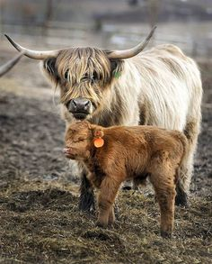 A Scottish Highland cow and her calf stand in a pasture in Bozeman, Mont. The cattle are much different than the typical Angus -- they're smaller and have a slower metabolism Scottish Highland Cow, Highland Cattle, Cow Pictures, Funny Animal Pictures, Cow Pics, Cow Photos, Farm Animals, Funny Animals, Cute Animals