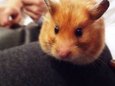 Cute hamsters decorated our pictures. Here are the hamster wall papers. We present you with some lovely 32 hamster backgrounds and information about hamams. Hamster Wallpaper, Cute Hamsters, Wall Papers, Phone Backgrounds, Pictures, Animals, Drop, Photos, Animaux