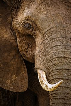 Tusker by Stephen Oachs (ApertureAcademy.com), via Flickr
