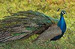 Peacock Indian Blue Peacock Southern California