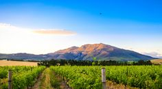 Wildekrans is known for its wines, olive oils and dining experiences. Wildekrans also offers farm accommodation. South African Wine, Wineries, Vineyard, Cape, River, Big, Beautiful, Mantle, Wine Cellars