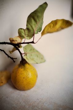 The aromatic quince, sole fruit of the genus Cydonia, bigger than an apple to which it is related with a beautiful scent between apple & pear. The sacred fruit of Aphrodite for the Greeks. Fruit And Veg, Fruits And Vegetables, Fresh Fruit, Image Fruit, Pyrus, Food Styling, Food Art, Still Life, Food Photography