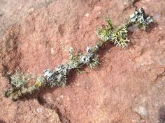 There are at least five species of lichen on this 15cm long oak twig #biodiversity #ForestofDean http://t.co/hMK2DaGVCM