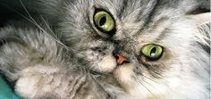 """Wolfie the Persian cat was born with a severe deformity. """"He basically pulls his body around with his front legs,"""" says Linda Oroz, the South Florida woman whose family adopted him two years ago. Wolfie's back legs are in a hard, straight position all the time, she says, and X-rays revealed they're not connected to …"""