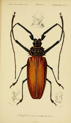 Items similar to 1849 Antique print of a BEETLE. 168 years old lithograph on Etsy Science Illustration, Nature Illustration, Antique Illustration, Botanical Illustration, Bug Art, Nature Drawing, Desenho Tattoo, Insect Art, Nature Prints